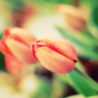 Tulipsbyemey87